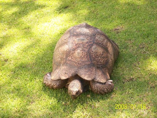 Vineyard Hotel: The giant tortoise roam the gardens