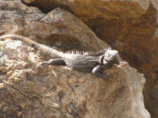 Capella Ixtapa: a native on the rocks below the pool