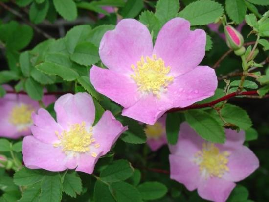 Dakota City, IA: Wild Roses from the largest wild rose bush I've ever seen. 7 ft high on the river bank in Gotch