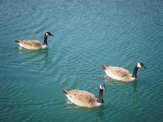 Staybridge Suites Tallahassee I-10 East: ducks