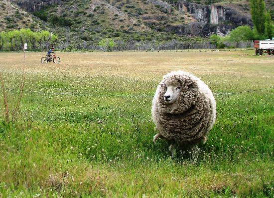 Province of Santa Cruz, Argentina: Resident sheep on the grounds