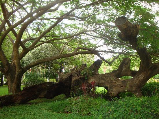 Quinta de San Pedro Alejandrino : Centenary Tree