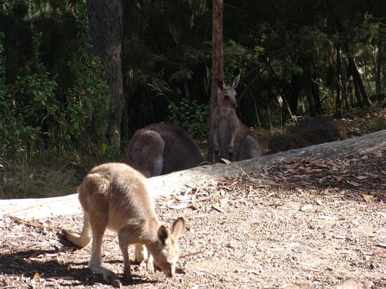 Narrabri, ออสเตรเลีย: roos