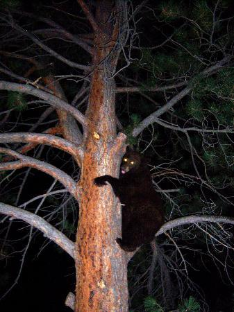 Estes Park Condos: The bear we saw from outside our restaurant!!!
