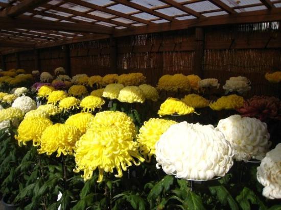 Hiraizumi-cho, اليابان: Chuson temple was hosting a chrysanthemum festival, where famous gardeners would show off their