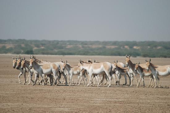 Dasada, India: Little Rann of Kutch