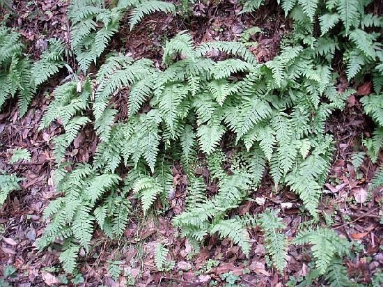 Skyline Wilderness Park : ferns growing in the shade