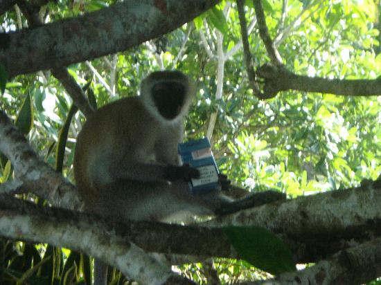 Flamboyant: Cheeky monkey who stole the smokes