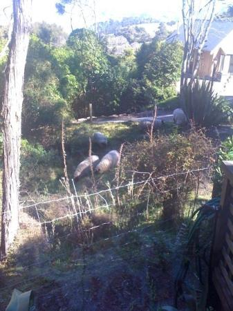 Akaroa Cottages - Heritage Collection: Sheep in our front yard! (no lonely black ones tho, sorry.)