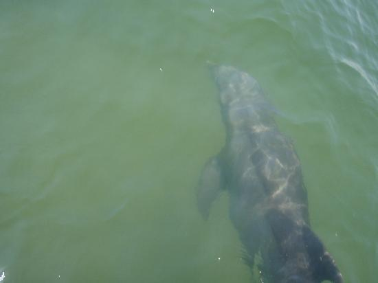 Ocean City, MD: A dolphin, as seen from the Happy Hooker