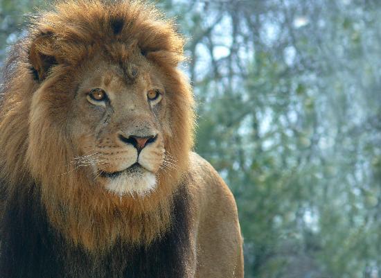 Kwanza The Male Lion