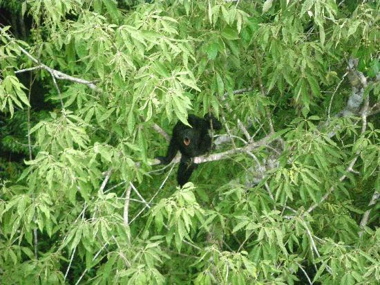 Flores, Guatemala: Ixpanajul - black howler monkey