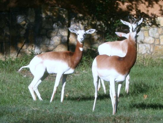 Jackson Zoo: Gazelles at the Zoo