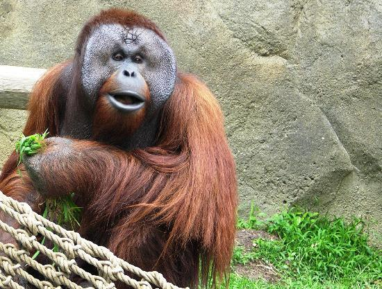 The Jackson Zoo: Orangutan at the Zoo