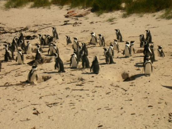 Simon's Town, South Africa: Boulders Beach