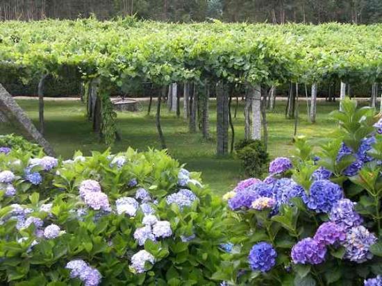 Pontevedra, Spanje: esos viñedos...