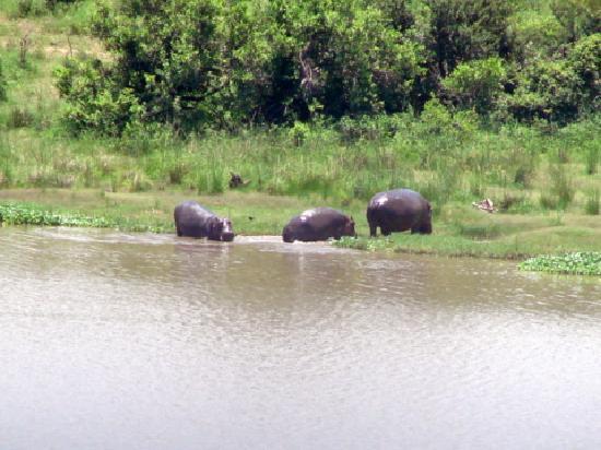 Buhala Lodge: Hippos