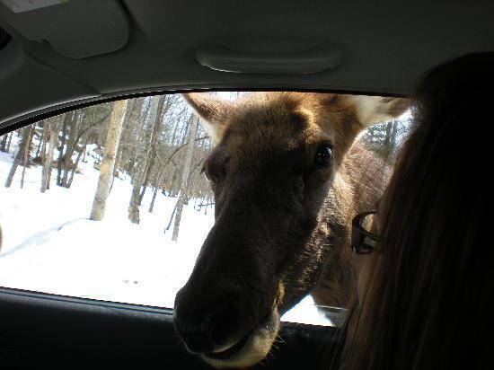 Montebello, Kanada: a deer from the park.