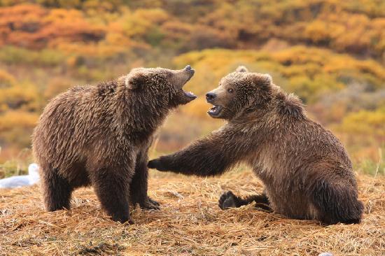 Kodiak Legends Lodge: Bear cubs playing around