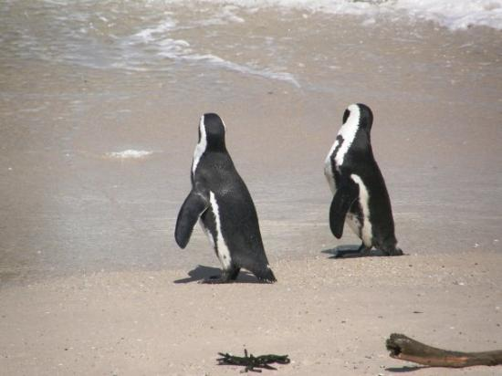 Simon's Town, South Africa: Penguin Beach