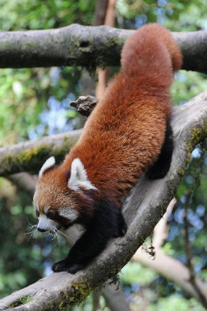 Snow Lion HomeStay: Red Panda in Darjeeling zoo