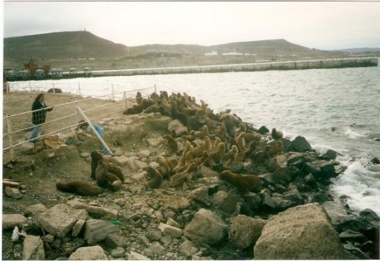 Comodoro Rivadavia, Argentina: Lobitos marinos desde el puerto - Comodoro 2005