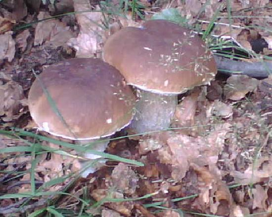 Borgo val di Taro, Italia: funghi porcini