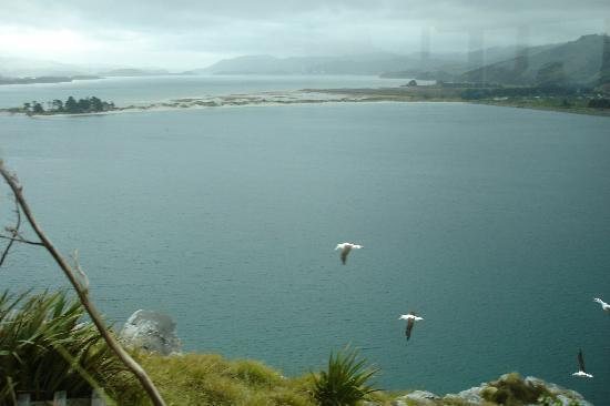 Dunedin, Nouvelle-Zélande : Albatross in flight
