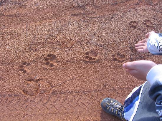 Moonracer Farm Lodging & Tours: BIG cat prints.