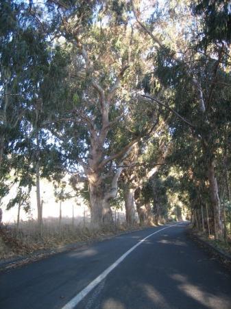 Talca, Chile: Åldersstigna eucalyptusträd i Chile