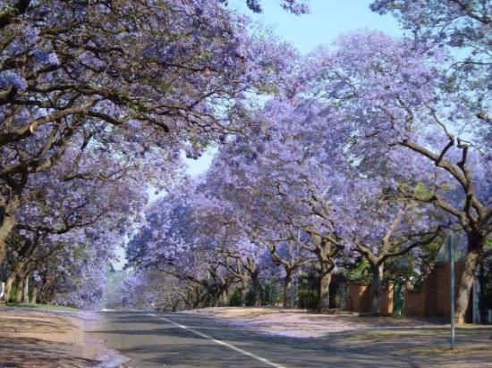 Pretória, África do Sul: Jacaranda Trees, Pretoria, South Africa
