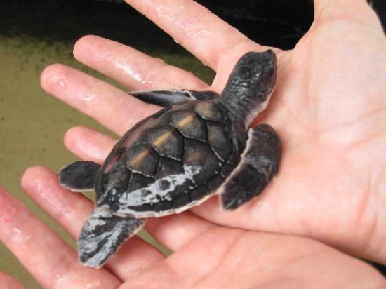 Sea Turtle Farm and Hatchery: Hand holding baby turtle