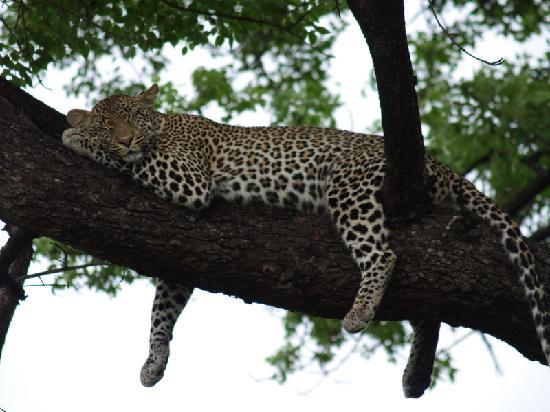 Elephant Plains Game Lodge: Leopard lazing around