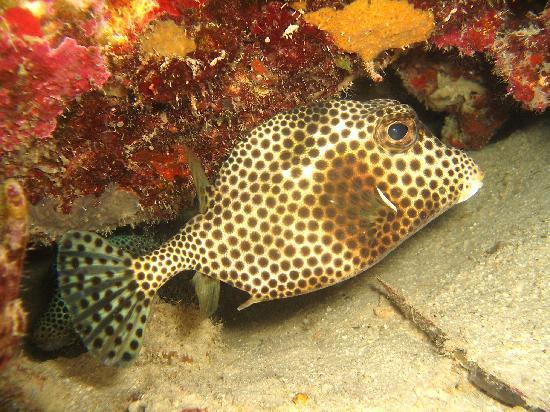 Sand Dollar Condominiums: Bonaire Smooth Trunkfish