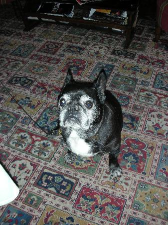 Hotel Chateau des Jacobins: Petris the Hotel's French Bulldog - ADORABLE!