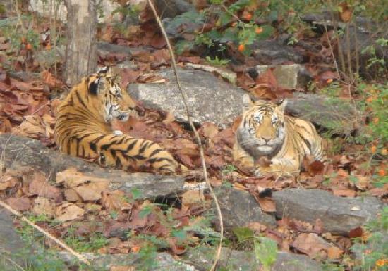 Baghvan Taj Wilderness Lodge: tigers in the wild 2