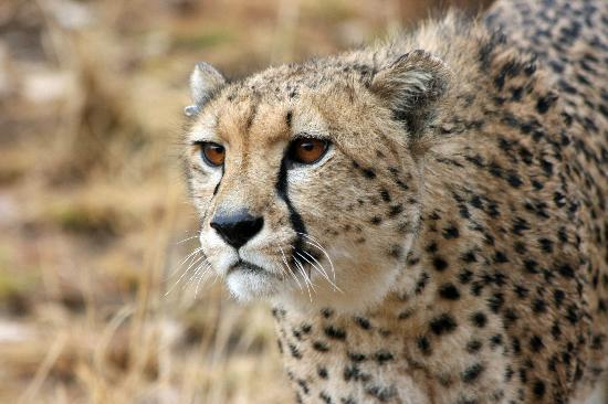 Amani Lodge: Big cat experience