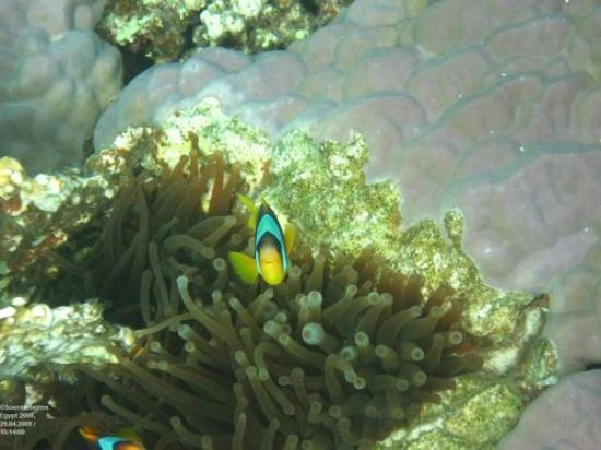 Makadi Bay, Egypten: Nemo