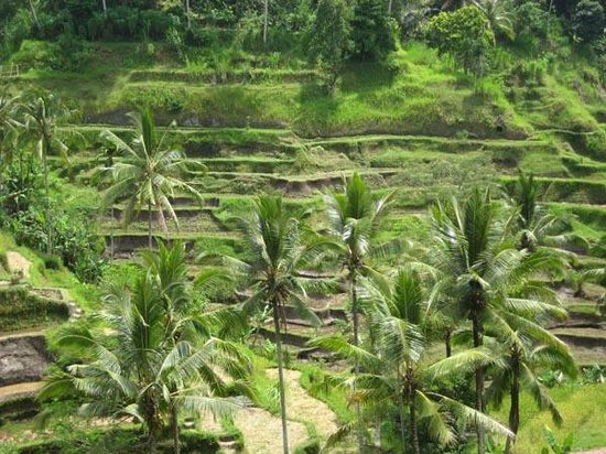 Tegalalang Rice Terrace : Terraced paddy field after the harvest.