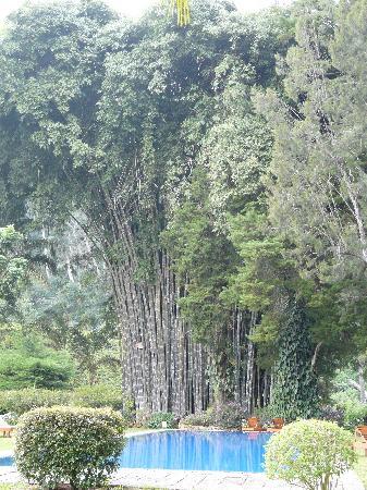 Ceylon Tea Trails: Entrée majestueuse avec bambous géants