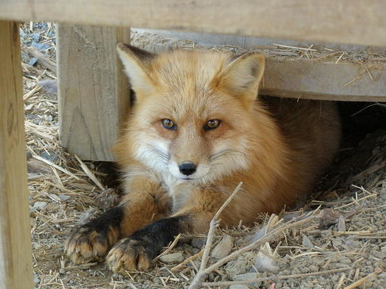 Burlington, Caroline du Nord : Soxy Red Fox