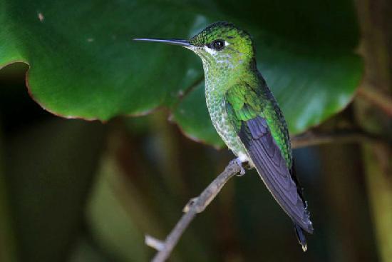 Bosque del Tolomuco: Kolibri