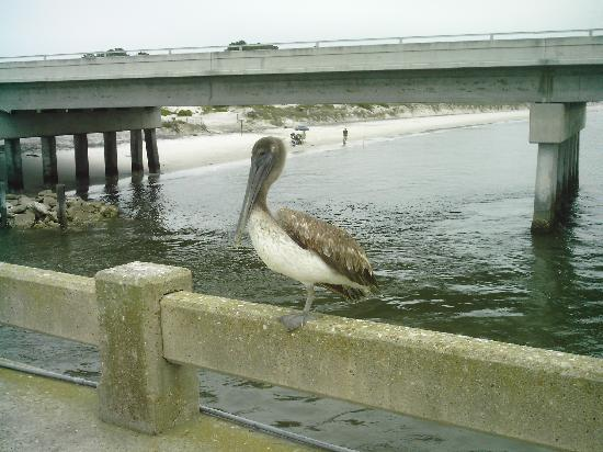 Huguenot Memorial Park: This is a 1-leg bird we met on 1 of our many trips to Huguenaut Park.