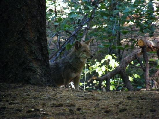 Upper Pines Campground: Coyots at Upper Pines