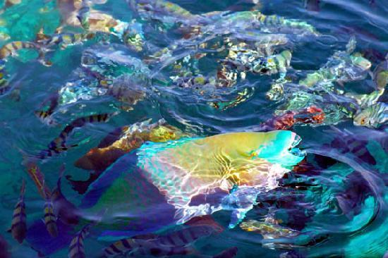 Sharm El Sheikh, Egipto: Parrot fish breaking the water