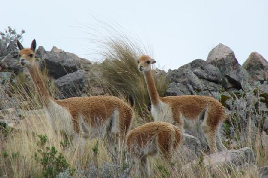 Isla Suasi Hotel : Vimos vicuñas!