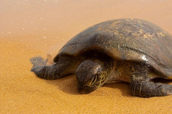 Drifters Hotel and Beach Restaurant: A turtle that washed up right in front of the hotel