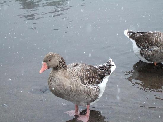 Yufu, Japonia: でっかい水鳥 何の鳥?