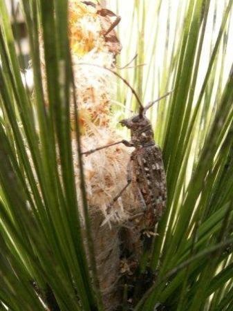 Talisheek, Луизиана: a beetle of sorts on a longleaf pine bud