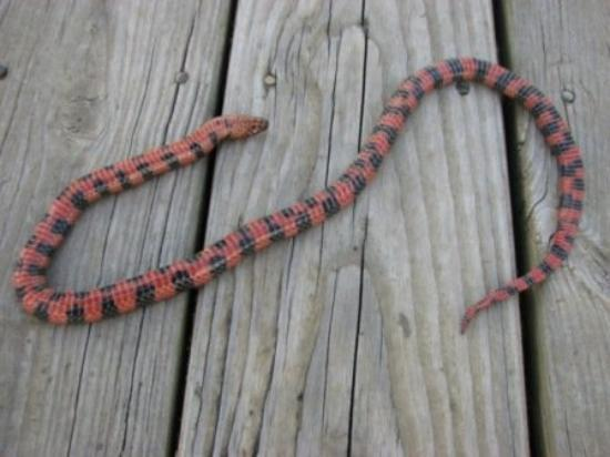 mud snake found on TNC's Talisheek preserve